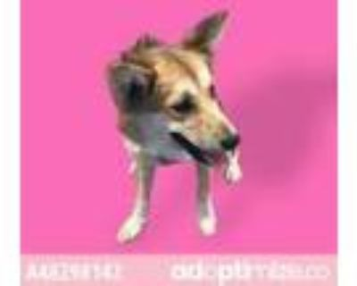 Adopt 48298142 a Brown/Chocolate Shepherd (Unknown Type) / Mixed dog in El Paso