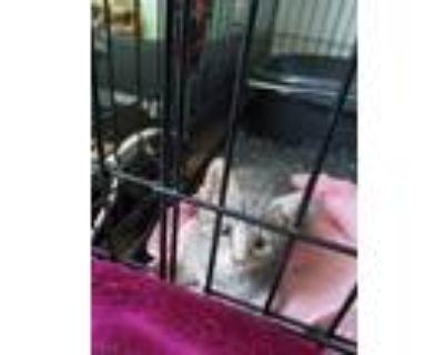 Adopt Santos a Gray, Blue or Silver Tabby American Shorthair / Mixed (short