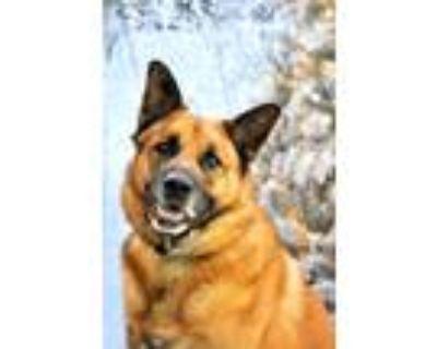 Adopt Sampson a Shepherd (Unknown Type) / German Shepherd Dog / Mixed dog in Ft.