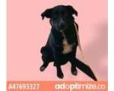 Adopt 47693327 a Black Labrador Retriever / Mixed dog in El Paso, TX (32011374)