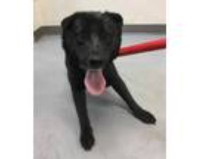 Adopt 47974610 a Black Shepherd (Unknown Type) / Mixed dog in Los Lunas