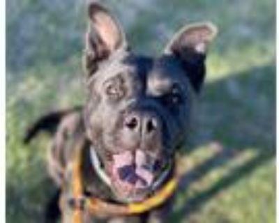 Adopt BEAN* a Black Chow Chow / Shar Pei / Mixed dog in Tucson, AZ (31219733)
