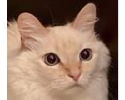 Adopt Kitty Bow a Cream or Ivory Siamese (medium coat) cat in Temecula