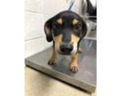 Adopt Puppy a Black Labrador Retriever / Doberman Pinscher / Mixed dog in Fort