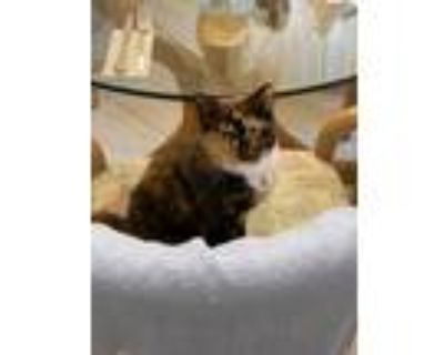 Adopt Kai a Calico or Dilute Calico American Shorthair / Mixed (short coat) cat