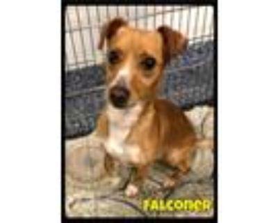 Adopt Falconer - 2106160 / 2021 a Dachshund