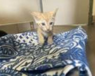 Adopt Luka a Orange or Red Tabby Domestic Shorthair (short coat) cat in