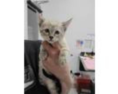 Adopt 48047124 a Cream or Ivory Domestic Shorthair / Siamese / Mixed cat in