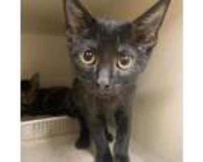 Adopt Yoda a All Black Domestic Shorthair / Mixed cat in Blasdell, NY (32069109)