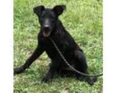 Adopt Deedee a Black Labrador Retriever, Shepherd