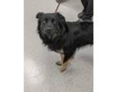 Adopt Ozzy a Black English Shepherd / Mixed dog in Indianapolis, IN (31491836)