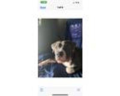 Adopt Blaze a Gray/Blue/Silver/Salt & Pepper American Pit Bull Terrier / Mixed