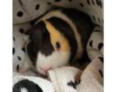 Adopt Galileo a Guinea Pig