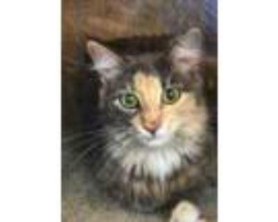 Adopt Muneca a Domestic Long Hair, Domestic Short Hair