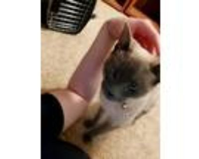 Adopt Bloo a Gray or Blue (Mostly) Siamese / Mixed (short coat) cat in
