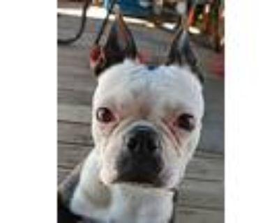 Chleo, Boston Terrier For Adoption In Phelan, California