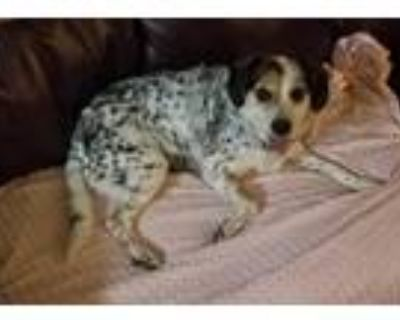 Adopt Lucy a Tricolor (Tan/Brown & Black & White) Beagle / Australian Cattle Dog