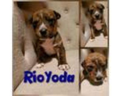 Adopt Rio Yoda a Australian Cattle Dog / Blue Heeler, Pit Bull Terrier