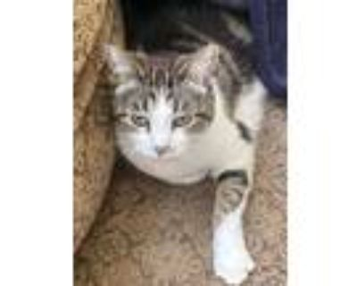 Adopt Sophie a Tortoiseshell Domestic Shorthair / Mixed (short coat) cat in