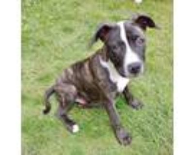 Adopt Bacon a Brindle - with White Boxer / Pit Bull Terrier dog in Amherst