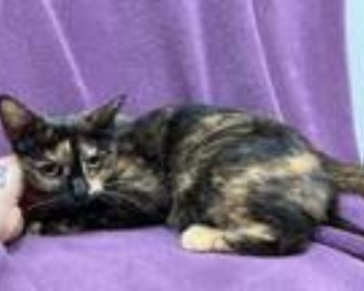 Adopt Mona Lisa a All Black Domestic Shorthair / Mixed cat in Boulder