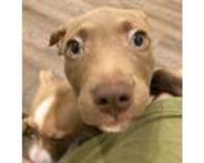 Adopt Joni Mitchell a Brown/Chocolate - with White Labrador Retriever / American