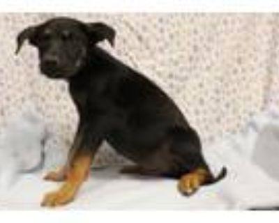 Adopt A554090 a Doberman Pinscher, Mixed Breed