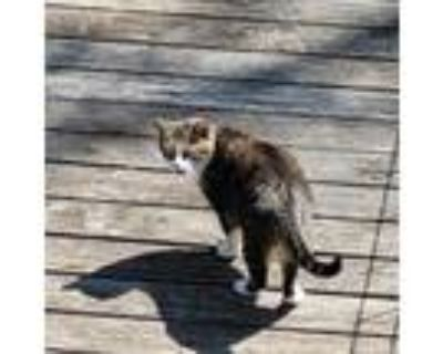 Adopt Max a Brown Tabby Domestic Shorthair / Mixed (short coat) cat in