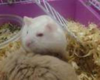 Adopt TAC a White Hamster / Mixed small animal in Van Nuys, CA (31452248)