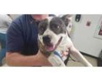 Adopt Nyla a White American Pit Bull Terrier / Mixed dog in Fort Worth
