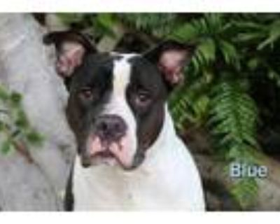 Adopt BLUE a Black - with White American Pit Bull Terrier / Mixed dog in Fort
