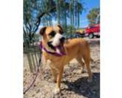 Adopt Bell Bell a Boxer, Labrador Retriever