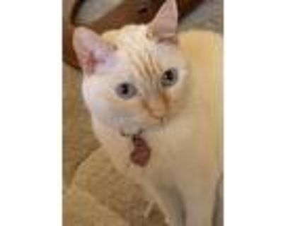 Adopt Ginger *Courtesy Post* a Cream or Ivory (Mostly) Siamese (short coat) cat