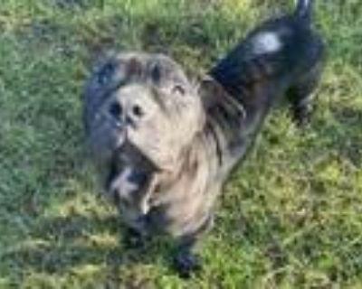 Adopt TYSON a Mastiff