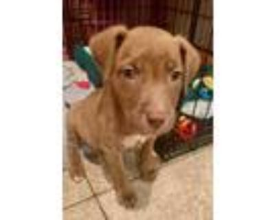 Adopt Meadow Woodland a Hound (Unknown Type) / Mixed dog in Boston
