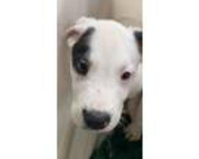 Adopt Aric a Retriever, Pit Bull Terrier