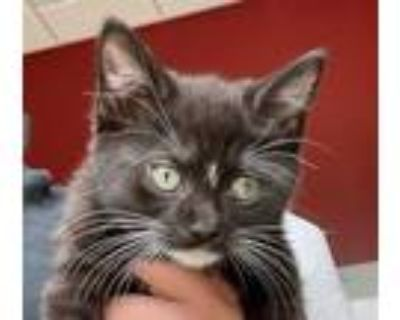 Adopt Halifax a All Black Domestic Shorthair / Domestic Shorthair / Mixed cat in