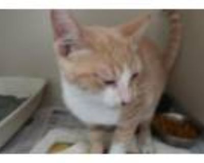 Adopt Smudge on medical hold a Domestic Shorthair / Mixed cat in Homer Glen
