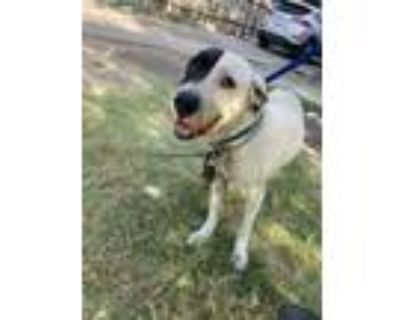 Adopt 48039268 a Black Labrador Retriever / Mixed dog in Fort Worth