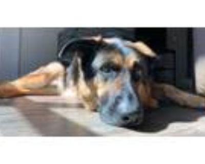 Adopt Gabriel a Black German Shepherd Dog / Mixed dog in Dawsonville
