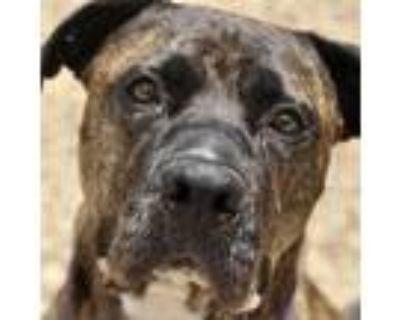 Adopt Felix a Brindle Boxer / Mixed dog in Fairfax Station, VA (29782981)