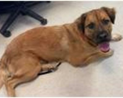Adopt TOBY a Brown/Chocolate - with Black Golden Retriever / Mixed dog in Plano