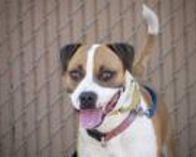 Adopt CHARLIE RICH a Brown/Chocolate - with White Boxer / American Pit Bull