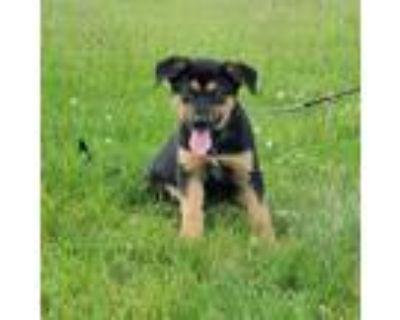 Adopt Ms. Pac-Man a Shepherd, Labrador Retriever