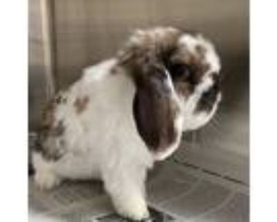 Adopt Peter a Chocolate Lop, Holland / Mixed (short coat) rabbit in Los Angeles
