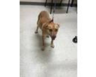 Adopt Pancake a Tan/Yellow/Fawn Terrier (Unknown Type, Small) / Mixed dog in