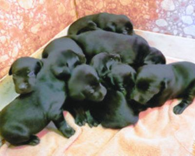 LABRADOR Puppies AKC Registered, for sale, 2 liters, 12 weeks old and four weeks...