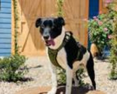 Adopt Luna a Labrador Retriever, Pit Bull Terrier