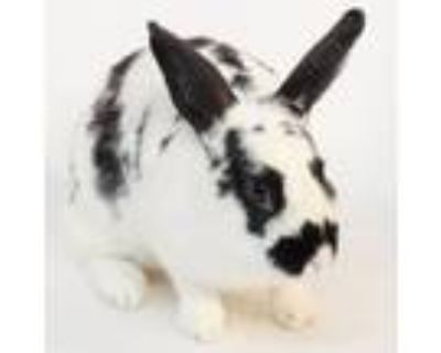 Adopt Wednesday a Bunny Rabbit