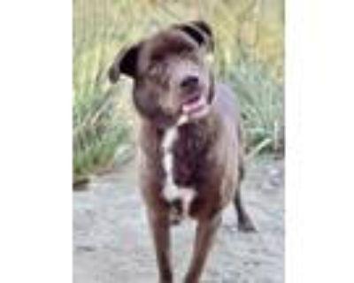 Scout/gracie, Labrador Retriever For Adoption In Palm Springs, California